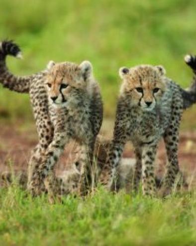 cheetah-cubs-1