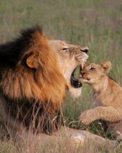 christian-sperka-lioness-and-cub-1